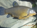 John Cullom caught this Tench on the RIver Lark in July, 2014.