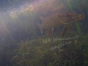 Under water photo of a pike on Todds Pit,  Lee  Saunders, 23/4/15.