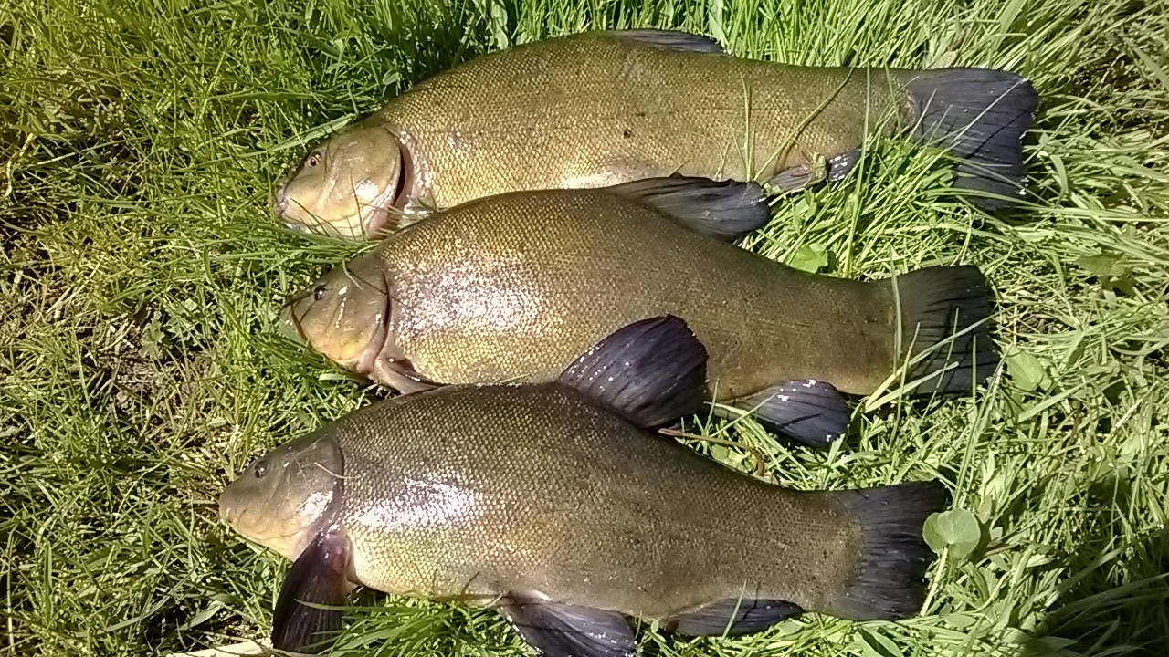 Chris Devan had good early morning session at Barnwell lake, catching these tench, April 2015